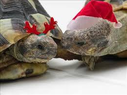 christmas tortoises