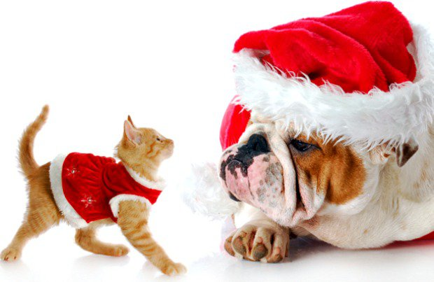 kitten and bulldog xmas