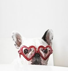frenchie Valentine 2016 2