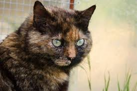 tortoise shell cat 1